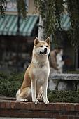 忠犬小八:Hachi_2_0637.jpg