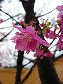 「愛現花遊記」投稿相簿:[stephen_cyk] 桃園市虎頭山櫻花