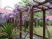 武陵農場-紫藤花:2009_0322170.JPG