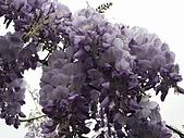武陵農場-紫藤花:FX2009_0322255.JPG