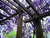 武陵農場-紫藤花:FX2009_0322276.JPG