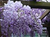 武陵農場-紫藤花:FX2009_0322256.JPG