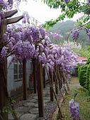 武陵農場-紫藤花:2009_0322173.JPG