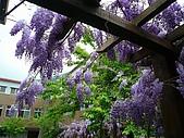 武陵農場-紫藤花:FX2009_0322277.JPG