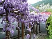 武陵農場-紫藤花:FX2009_0322259.JPG