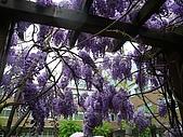 武陵農場-紫藤花:FX2009_0322278.JPG