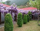 武陵農場-紫藤花:2009_0322119.JPG