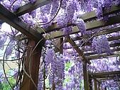 武陵農場-紫藤花:FX2009_0322279.JPG