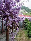 武陵農場-紫藤花:2009_0322129.JPG