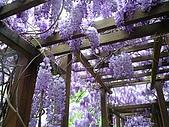 武陵農場-紫藤花:FX2009_0322280.JPG