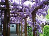 武陵農場-紫藤花:FX2009_0322281.JPG