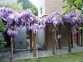 武陵農場-紫藤花:FX2009_0322263.JPG