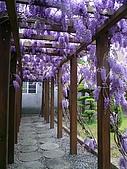 武陵農場-紫藤花:FX2009_0322282.JPG