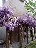 武陵農場-紫藤花:2009_0322133.JPG