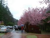 武陵櫻花雨:Wuling Tea Village 武陵茶莊12.JPG
