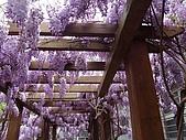 武陵農場-紫藤花:2009_0322141.JPG