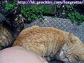 後院野貓:20070413_cat_ooki_04