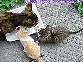 後院野貓:20070420_cat_onikazoku_01