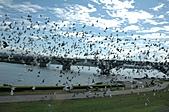 鴿子:a 058