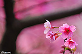 粉嫩春櫻:DSC_8002+.jpg