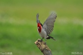 紅冠臘嘴雀-飛行版:DSC_8685+.jpg