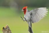 紅冠臘嘴雀-飛行版:DSC_8414+.jpg