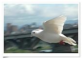 鴿子:a 109-