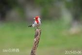 紅冠臘嘴雀 :DSC_7662+.jpg