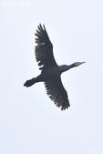 小黑 5 拍魚鷹:DSC_4069++.jpg