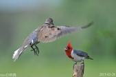 紅冠臘嘴雀 -憤怒鳥:DSC_8106+.jpg