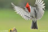 紅冠臘嘴雀-飛行版:DSC_8356+.jpg