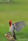 紅冠臘嘴雀-飛行版:DSC_8564+.jpg