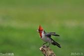 紅冠臘嘴雀-飛行版:DSC_8727+.jpg
