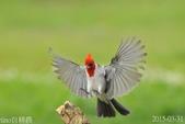 紅冠臘嘴雀-飛行版:DSC_8458+.jpg