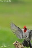 紅冠臘嘴雀-飛行版:DSC_8674+.jpg