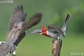 紅冠臘嘴雀 -憤怒鳥:DSC_8030+.jpg