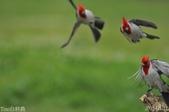 紅冠臘嘴雀-飛行版:DSC_8731+.jpg