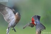 紅冠臘嘴雀 -憤怒鳥:DSC_8101+.jpg