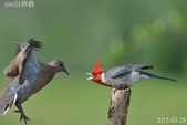 紅冠臘嘴雀 -憤怒鳥:DSC_8029+.jpg