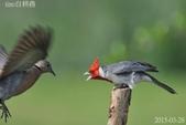 紅冠臘嘴雀 -憤怒鳥:DSC_8028+.jpg