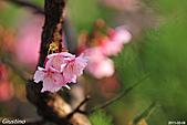 粉嫩春櫻:DSC_7922+.jpg