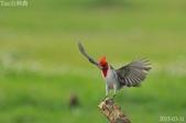 紅冠臘嘴雀-飛行版:DSC_8630+.jpg