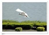 鴿子:a 090