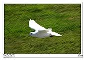 鴿子:a 093