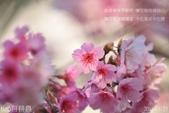 烏來櫻花:DSC_7312+.jpg