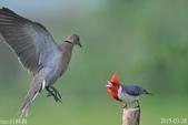 紅冠臘嘴雀 -憤怒鳥:DSC_8105+.jpg