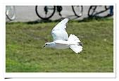 鴿子:a 049