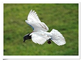 鴿子:a 051-