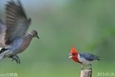 紅冠臘嘴雀 -憤怒鳥:DSC_8103+.jpg