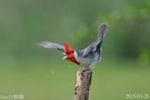 紅冠臘嘴雀 -憤怒鳥:DSC_8031+.jpg